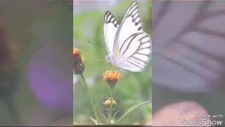 Самые редкие бабочки
