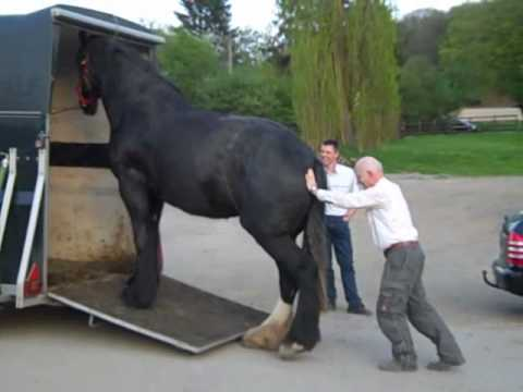 Lustig: Verladen eines Shire Horse Pferd in 30 Sekunden - Clydesdale: Funny loading on a trailer