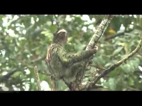 Как ленивец защищается от хищников