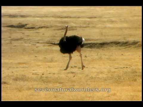 How fast does an Ostrich run?.mov