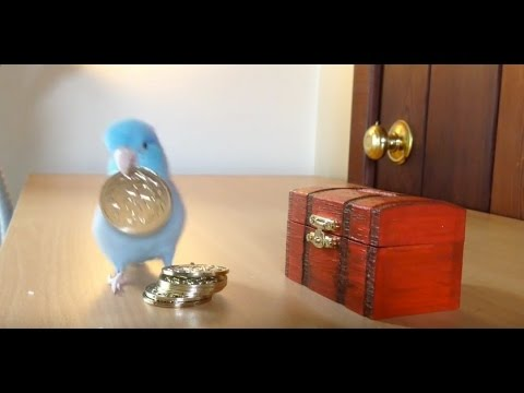Charlie The Parrotlet Puts His Money In The Bank