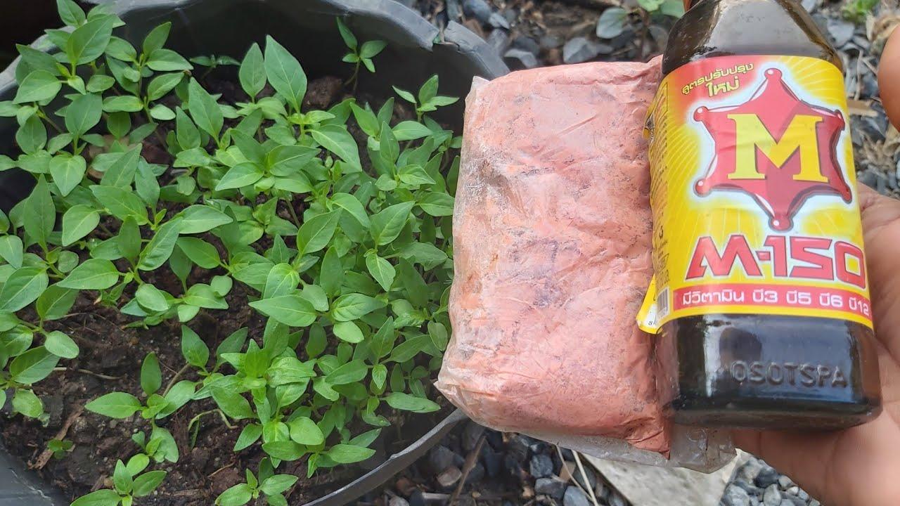 ลองเลย#อนุบาลกล้าพริก ให้พร้อมดก ต้นไม่ยืด แข็งแรง โตเร็ว  ต้องลอง