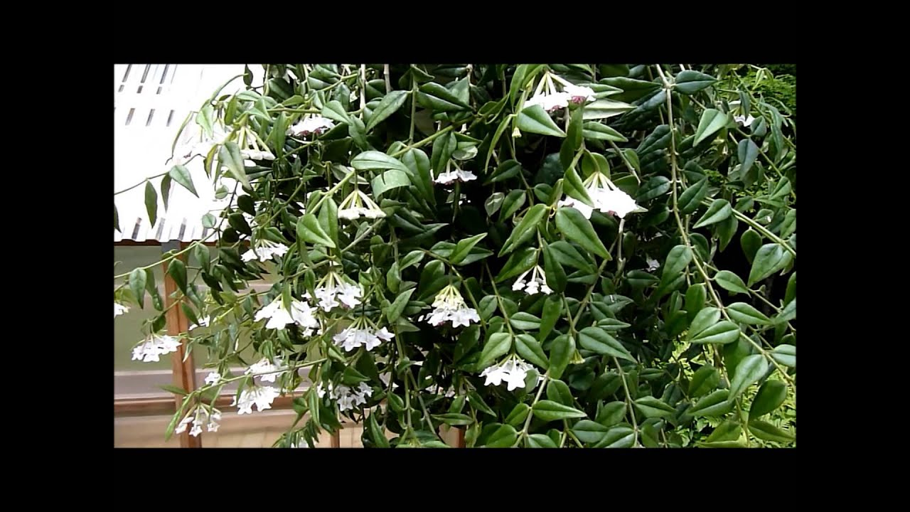 Hoya Plant How To Care For And Propagate Dengarden