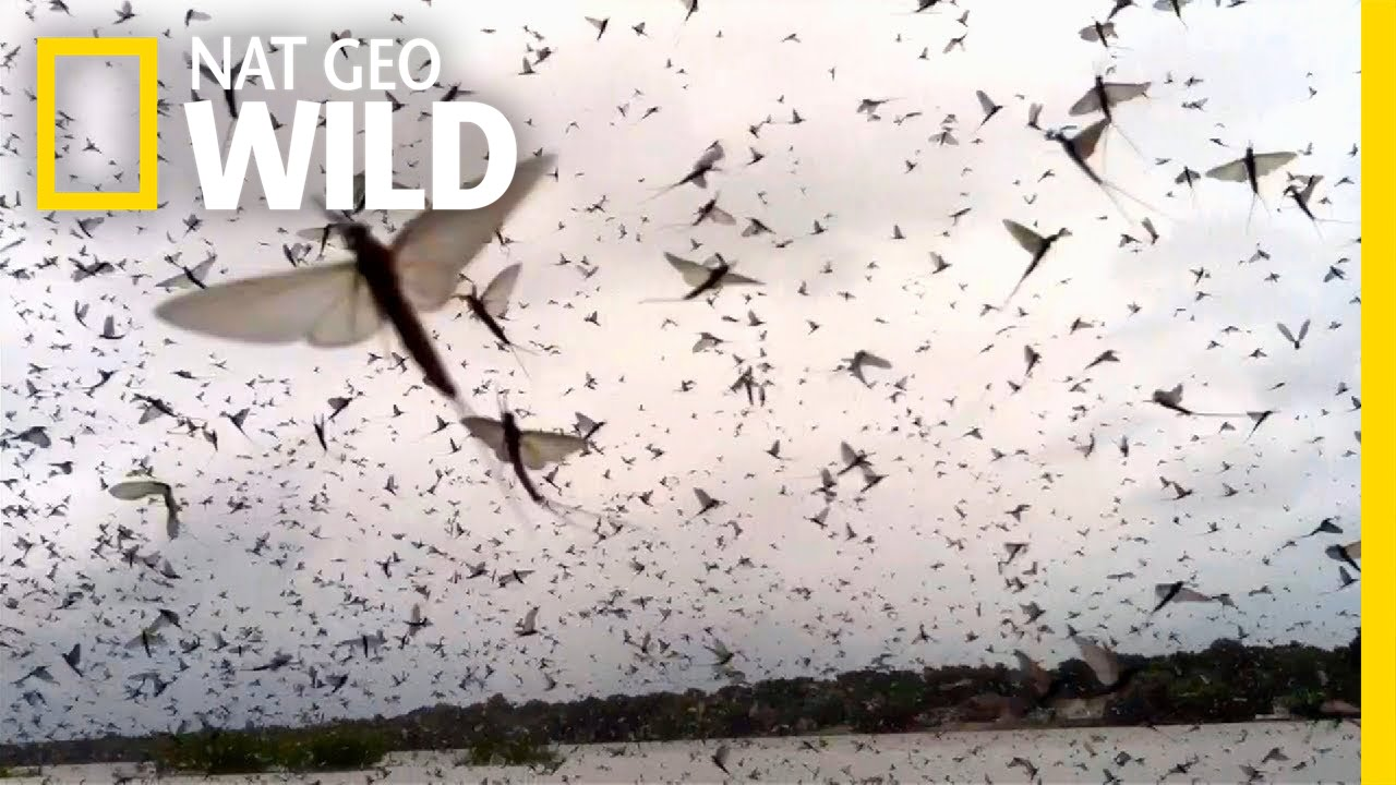 How to Survive a Massive Mayfly Swarm