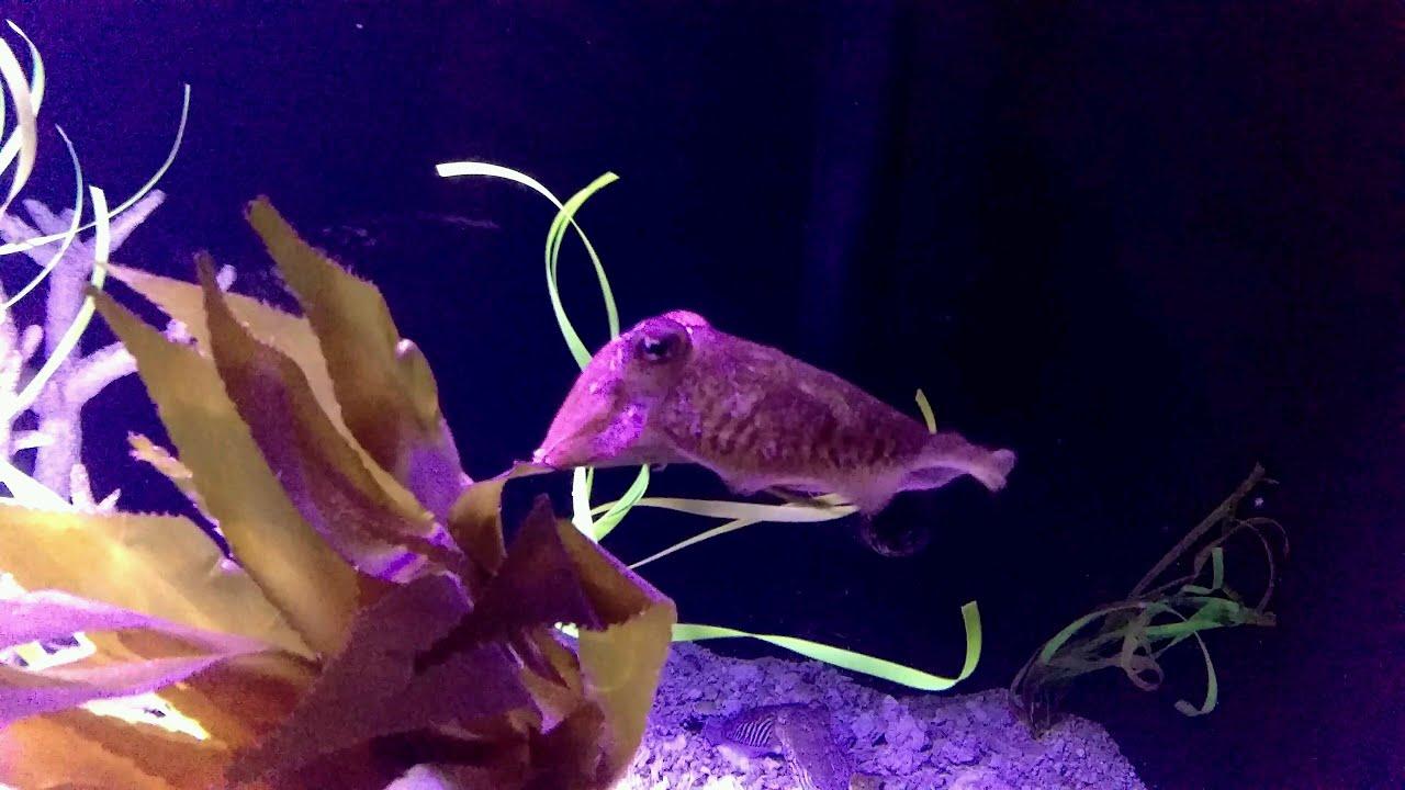 Fish aquarium utah - Cuttlefish At Loveland Living Planet Aquarium In Utah