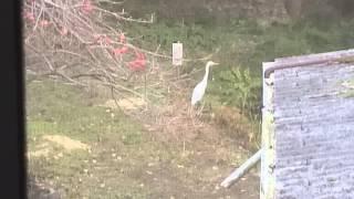 ウチの池に白鳥さんが寄り道?!近づいたら飛んで行ってしまいました。(...