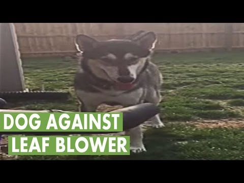 Wolf-dog hybrid fascinated with leaf blower
