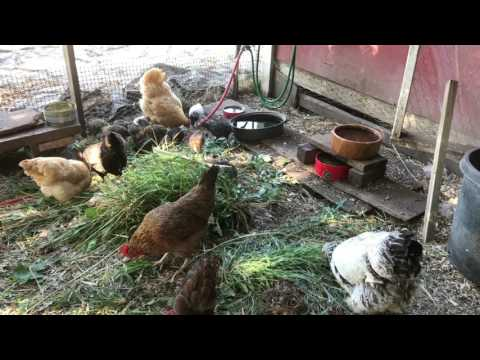 Raising chickens 101, getting started & what they don't tell you