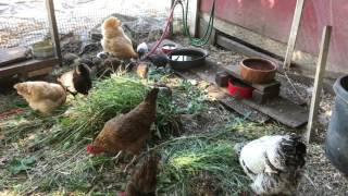 Raising chickens 101, getting started & what they don