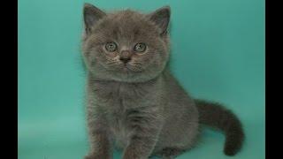 """Маленькие котята. Британские котята играют. Питомник Британских кошек """"House Arletta British"""""""