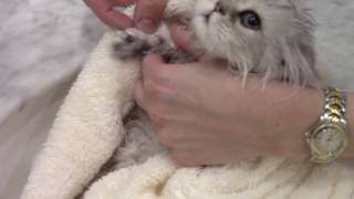 How to Clip the Claws / Nails -  Kitten