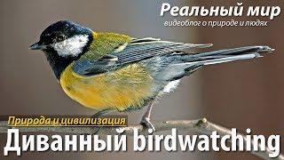 Диванный birdwatcing. Большая синица (Parus major) и Лазоревка (Cyanistes caeruleus) на кормушке.