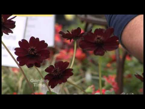 Plant Pick - Chocolate Cosmos