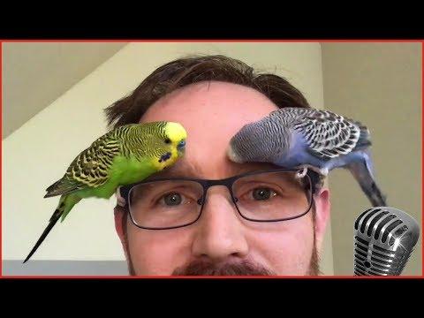 Смотреть самые смешные поющие попугаи! видео 2017 #3 видео приколы