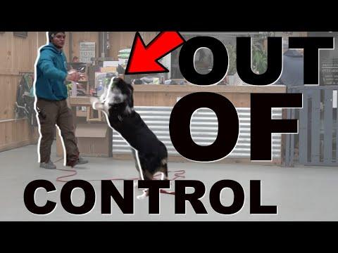 Dog goes CRAZY on leash | My dog wont walk on a leash