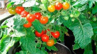помидоры на подоконнике круглый год