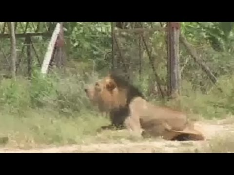 Stray lion shot dead after attacking a man in Nairobi