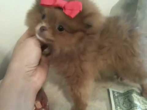 Teacup Pomeranian Puppy For Sale With Teddybear Face And Blue Eyes