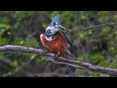 30 05 Ringed Kingfisher