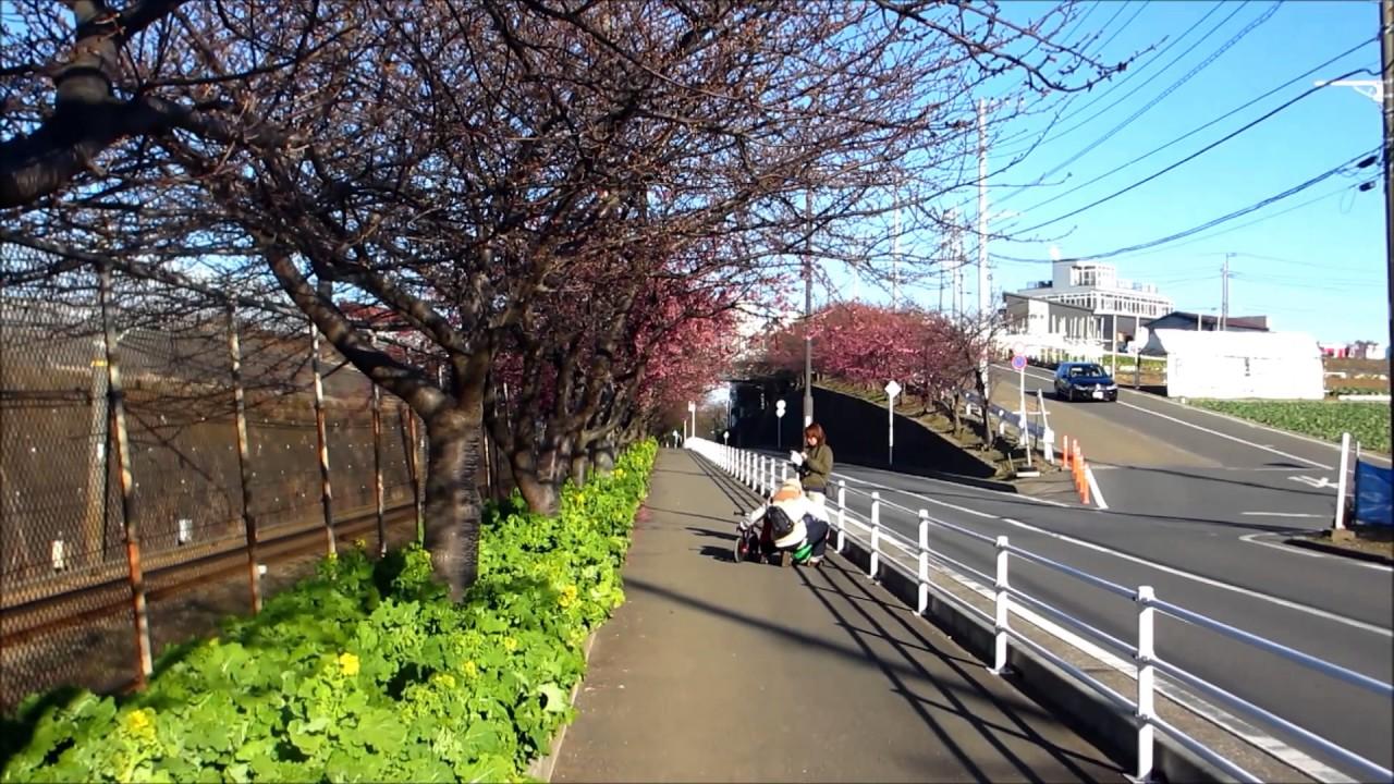 河津 桜 三浦 海岸 2021 三浦海岸桜まつり2021は中止!屋台や駐車場はどうなる??