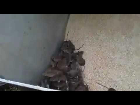 Растения отпугивающие грызунов крыс и мышей Сайт о