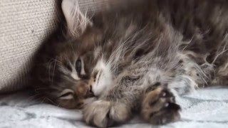 котята мейн кун (2 месяца) из Big Paw*Ru