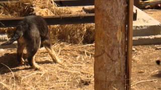 Банхар - монгольская овчарка