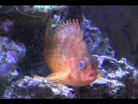 Red Hawkfish (Cyprinocirrhites Polyactus) - HD