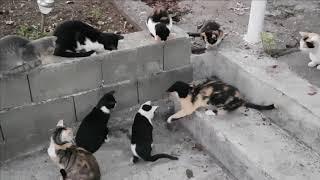 Кошки в Черногории против крысы