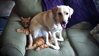 Download LABRADORS ARE AWESOME ★ Funny Labradors COMPILATION [Funny Pets] Mp3 and Videos