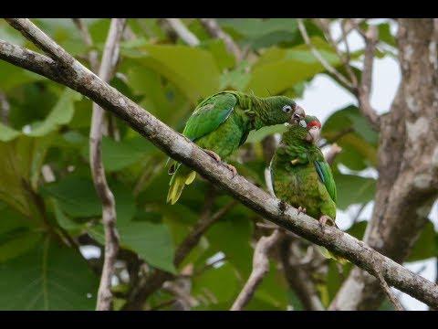 Saving Puerto Rican parrots