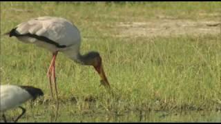 Stork Eats Frog