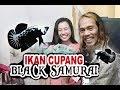 Ikan Cupang Black Samurai  Mp3 - Mp4 Download