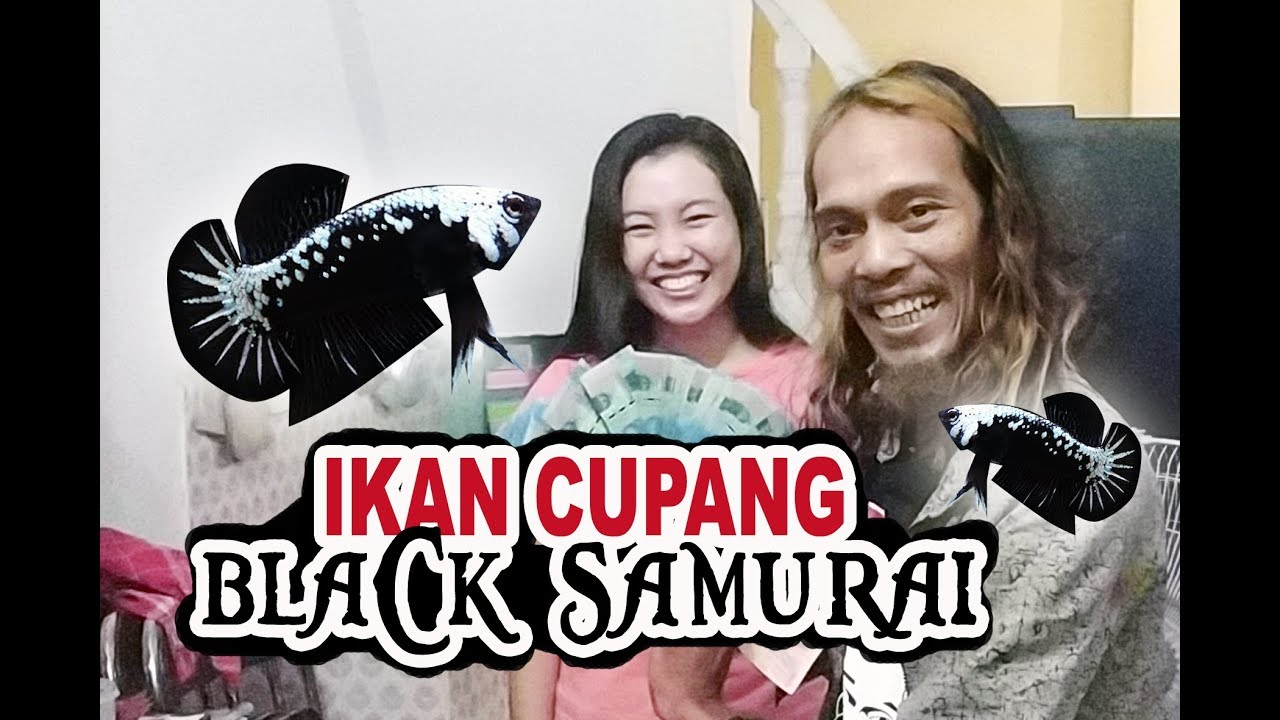 IKAN CUPANG BLACK SAMURAI - YouTube