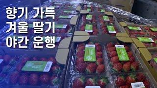 향기가득 겨울 딸기 야간운송[5톤 콜바리 화물차 기사의…