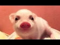 Pigs Are Awesome: Compilation