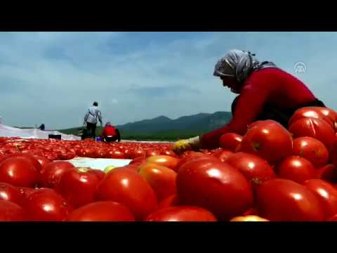 Tomatoes dried in the sun in Turkey's Manisa