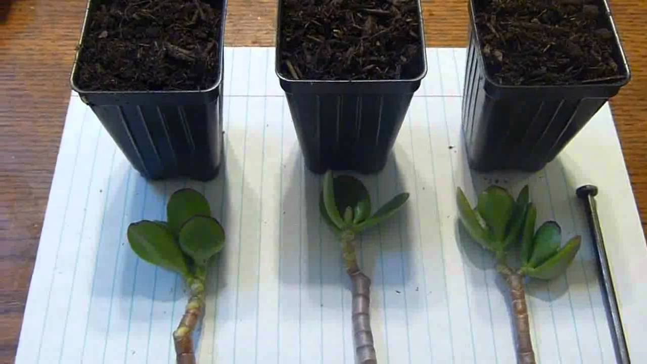 How to Transplant a Jade Plant
