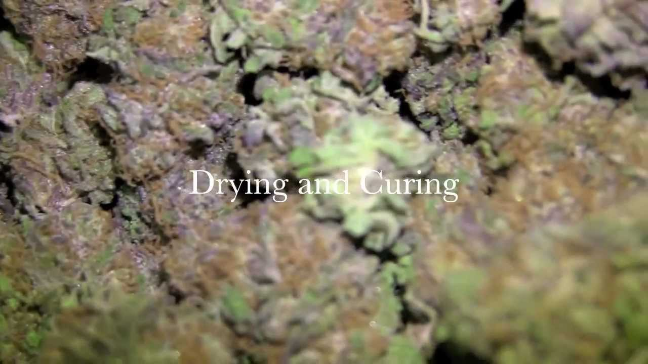 Drying And Curing ~ How to dry and cure marijuana youtube
