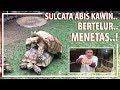 Kura-kura Sulcata Abis Kawin, Bertelur, Menetas..!