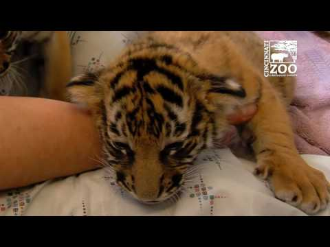 Tiger Cubs Starting to Eat Meat - Cincinnati Zoo