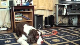 Springer Spaniel Obsession With Reflections Greenvilles Dog Whisperer
