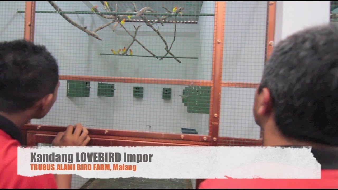 Cara Beternak Lovebird Secara Koloni Untuk Pemula - BURUNG
