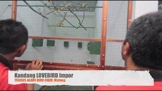Ternak Lovebird Impor Sistem Koloni (Lovebird Breeding)
