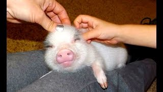 MOST ADORABLE Mini Pig Videos - Cute Micro Pig 2017