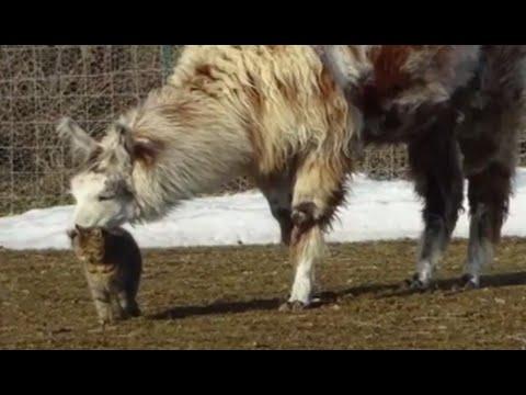 Cat, Llama Form Unlikely Friendship at Rescue Farm