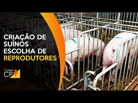 Clique e veja o vídeo Criação de suínos: como fazer a correta escolha de reprodutores