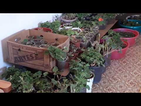 6 октября 2018 г Обрезка герани.Правила обрезки герани.Растение будет пышное и зимовка герани.