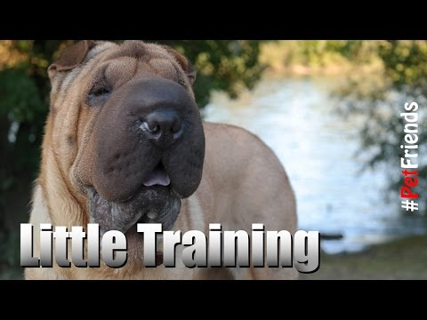 Nobel the Shar Pei in training - Pet Friends