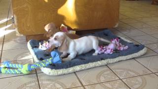 Donny And Dagger - Mini Dachshund Puppies - Ddr